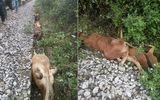Tàu hỏa tông chết 14 con bò chạy rông trên đường ray