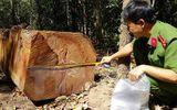 """Bảo vệ rừng bịa chuyện bị """"lâm tặc cướp 45 lóng gỗ"""""""