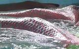 Video-Hot - Đàn cá hải tượng 12 con nặng hơn một tấn rưỡi ở Tây Ninh