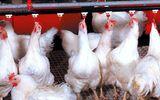Thị trường - 15 nghìn đồng/kg gà thịt, người nông dân lỗ cả tỷ đồng vì chăn nuôi