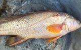 Bắt được 2 cá lạ nghi sủ vàng tiền tỷ ở Đồng Nai