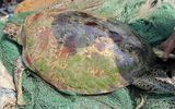 """Ngư dân bắt được rùa """"khủng"""" nặng 60 kg, dài 1 m trên sông Lam"""