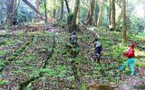 Bắt nghi can trộm hơn 500 gốc sâm Ngọc Linh