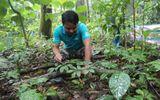 Vụ trộm hơn 500 gốc sâm Ngọc Linh: Bắt khẩn cấp một cán bộ quản lý rừng