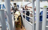 Đàn bò sữa cao sản HF từ Mỹ lớn nhất nhập khẩu về Việt Nam
