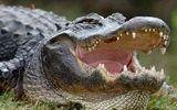 Trận kịch chiến kinh hoàng của cá sấu khổng lồ