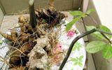 Củ sâm Ngọc Linh quý hiếm được rao bán với giá hơn 400 triệu đồng