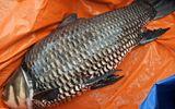 """Kinh doanh - Cá hô """"khủng"""" bắt trên sông Đồng Nai được bán gần trăm triệu"""