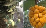 """""""Cười té ghế"""" với 1.001 chiêu chống trộm trái cây chỉ có ở Việt Nam"""