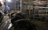 Ăn xong, 17 con bò lăn ra chết