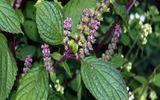 Sức khoẻ - Làm đẹp - Bí quyết từ lá tía tô giúp chữa bệnh gout, giảm béo và làm đẹp da