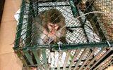 """Bắt khỉ """"lạ"""" nặng gần 10 kg chuyên """"trêu"""" phụ nữ, giết gà của người dân"""