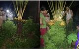 """Đời sống - Chủ nhà chong đèn, giữ chó cả đêm để khách ngắm cây vạn tuế """"đẻ"""" 400 """"trứng vàng"""""""
