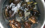 Pháp luật - Nghệ An: Bắt nữ đối tượng vận chuyển rùa hộp trán vàng