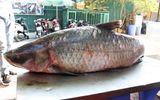 """Tin trong nước - Bắt được cá trắm """"khủng"""" nặng 42 kg trên hồ Thác Bà"""