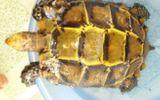 Bắt được rùa vàng, thương lái trả gần 1 tỷ không bán