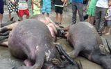 7 con trâu bị tàu hỏa tông chết khi chạy qua đường dân sinh