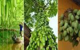 """Đời sống - Xao xuyến trước những cây """"siêu mắn"""" cho ra trái trĩu trịt nhìn mãi không chán"""