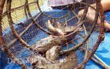 Tuyệt chiêu giăng bắt loài cá có nọc độc chết người của dân miền Tây