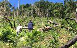 Vụ phá rừng ở Quảng Nam: Bắt giam một đối tượng, tiếp tục điều tra kẻ chủ mưu