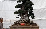 Cận cảnh cây duối nghìn năm, 6 tỷ đồng chưa chịu bán