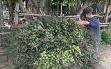 Trung Quốc bất ngờ ngừng mua cau non, tiểu thương Việt Nam mất tiền tỷ