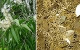 """Sự thật về loài cây có thể """"mọc"""" ra vàng tại Việt Nam"""