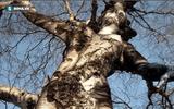 """Những thân cây trên thế giới """"dị"""" hơn cây gỗ giá 1 triệu USD ở Thanh Hóa"""