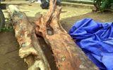 Cây gỗ trắc đỏ quý ở Gia Lai được bán với giá 600 triệu đồng
