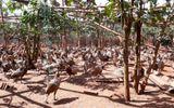 Thu lãi 2 tỷ/năm nhờ mô hình nuôi chim trĩ đỏ