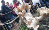 Phát hiện cây nấm lớn khổng lồ nhất thế giới cao gần 1m