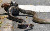 Rắn hổ mang bị trăn tóm sống, siết cổ giữa đường