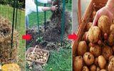 """Vùi vài củ khoa tây vào tổ rơm nhỏ trong vườn, cô gái """"bội thu"""" hàng chục cân khoai tây"""