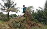 Người dân lao đao vì sả rớt thê thảm, chỉ 2.000 đồng/kg