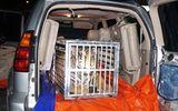 """Phát hiện """"chúa sơn lâm"""" nặng 300 kg trên xế sang Lexus"""