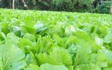Đời sống - 15 công dụng cần biết của rau cải bẹ xanh