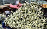Mới đầu đông, người trồng hoa kiếm tiền triệu nhờ cúc họa mi