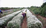 Tin tức - Chớm đông, người trồng cúc họa mi thu cả triệu đồng mỗi ngày