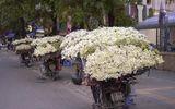 Chớm đông, người trồng cúc họa mi thu cả triệu đồng mỗi ngày