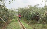 Nông dân kiếm tiền tỷ nhờ trồng cây táo