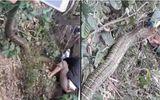 """Tình tiết lạ vụ bắt rắn """"khủng"""" 20 kg nghi hổ mang chúa ở Vĩnh Phúc"""