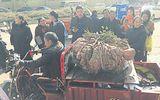 Choáng váng với củ khoai lang khổng lồ nặng 41 kg