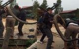 """Rắn """"khủng"""" nặng 20kg ở Vĩnh Phúc là hổ mang chúa, cực độc?"""