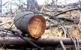 Tin tức - Vụ phá rừng ở Quảng Nam: Cách chức Chủ tịch xã