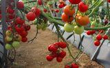 Virus lạ làm cà chua ở Lâm Đồng chết hàng loạt