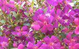 Sắc tím trên đồi hoa Mua -  Nét quyến rũ mới của Đà Lạt