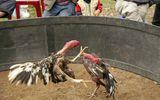 Bắt 20 đối tượng đá gà ăn tiền ở Nghệ An