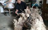 """Củ khoai """"khổng lồ"""" ở Nghệ An nặng 70 kg"""