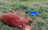Điều tra vụ 9 con bò chết bất thường ở Thái Bình