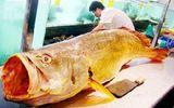 """Thương lái Trung Quốc chi 1,5 tỷ mua cặp cá sủ vàng """"khủng"""" ở Nha Trang"""